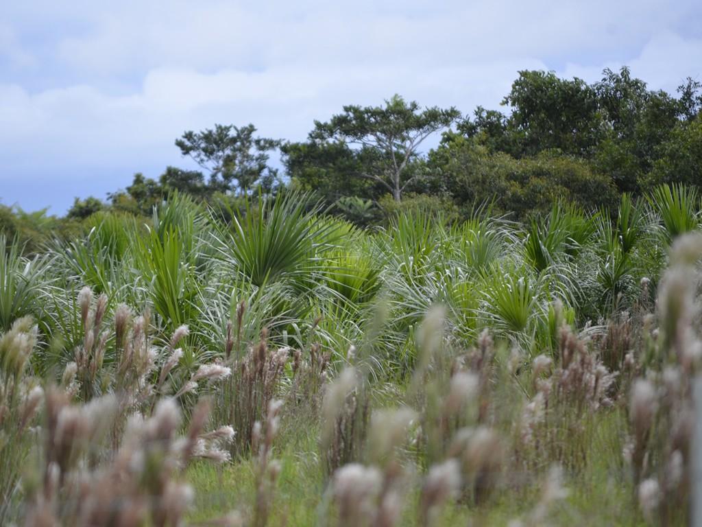 Área de reforestación con moriche (Maurita flexuosa) en la vereda Vigía Trompillos (Tauramena, Casanare). Fotografías: Carlos A. Aya, Fundación Omacha.