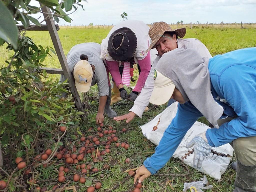 Jornada de recolección del fruto maduro del moriche en la vereda Vigía Trompillos, Tauramena, Casanare. Fotografía: Beatriz Alvarado, Fundación Omacha.