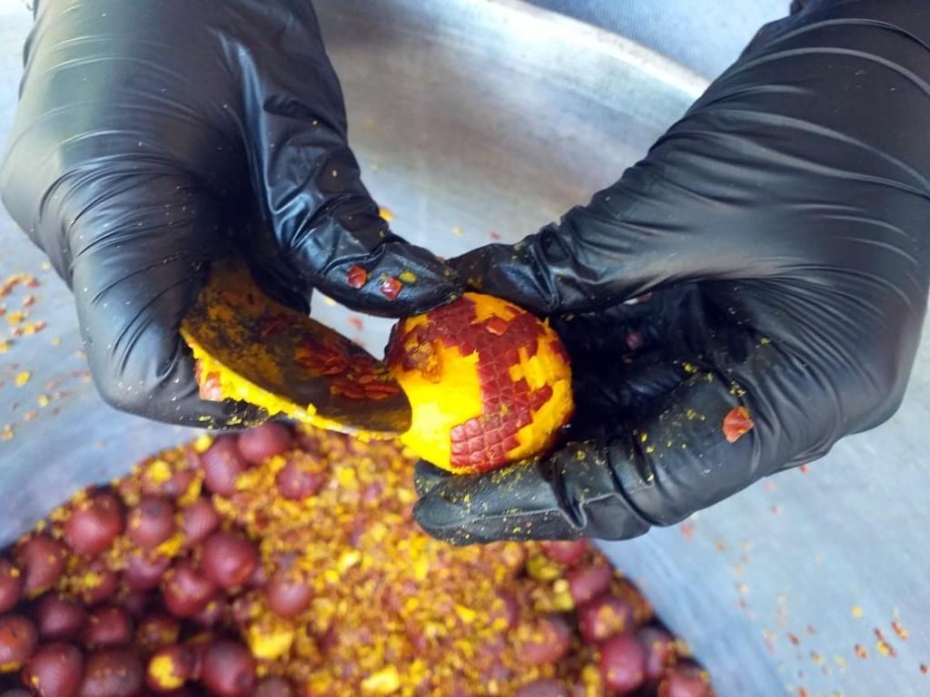 Extracción de la pulpa del fruto de moriche para la elaboración de alimentos para la I Feria del Moriche en la vereda Vigía Trompillos, Tauramena, Casanare. Fotografía: Beatriz Alvarado, Fundación Omacha.