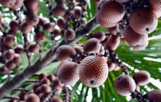 Racimo de frutos de moriche, una palma puede tener hasta ocho racimos y cada uno de estos entre 700 y 750 frutos. Fotografías: Carlos A. Aya, Fundación Omacha.